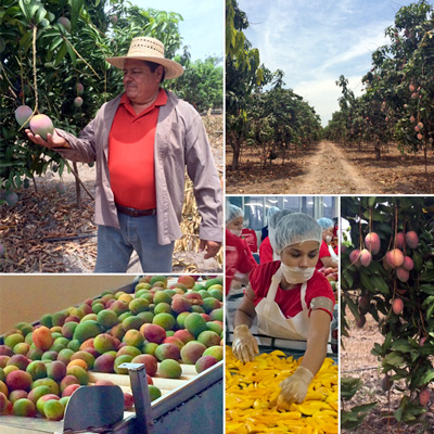 collage of images from our farmers mango farms